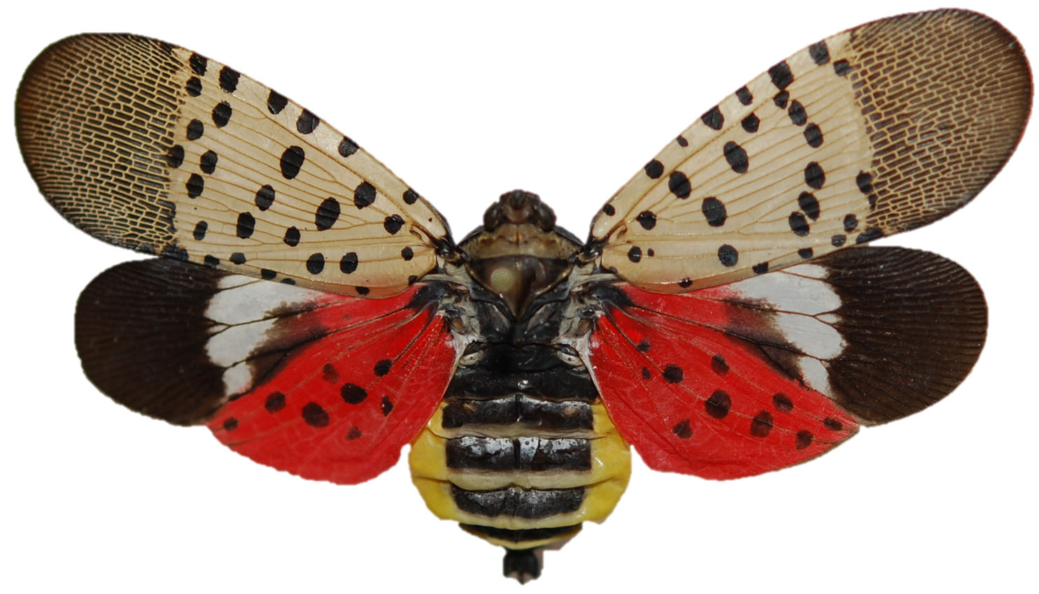 Spotted Lantern Fly 4