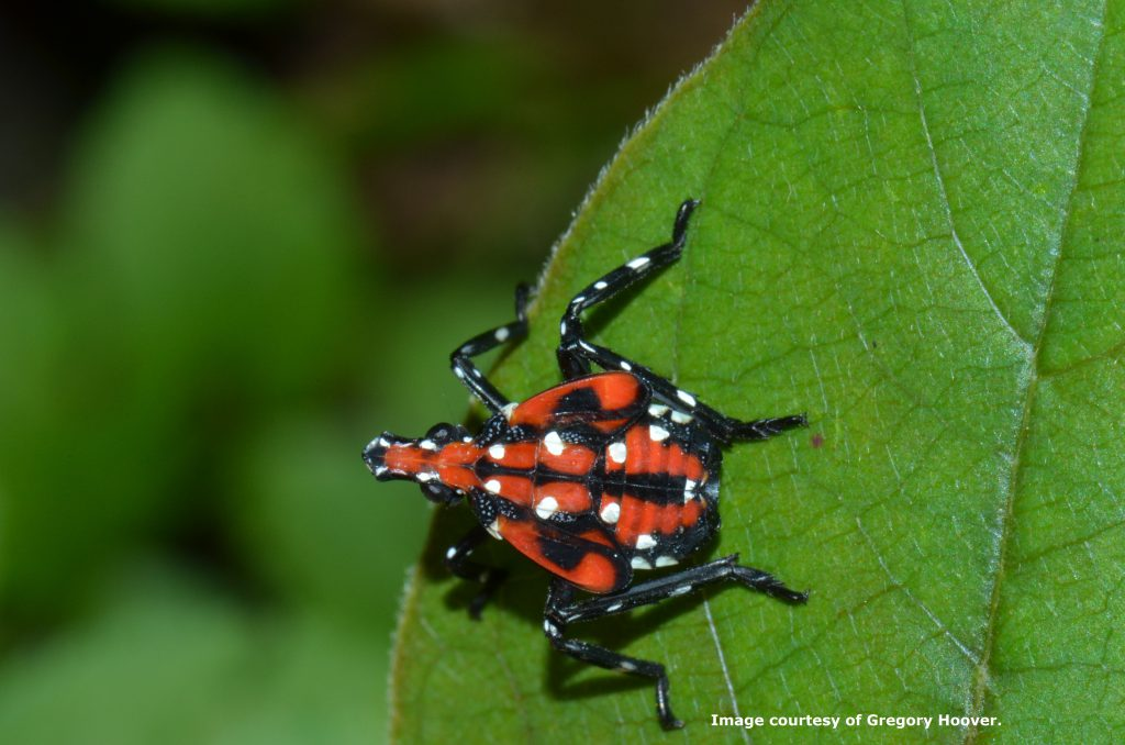 Spotted Lantern Fly 3